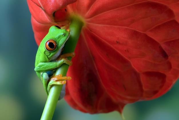 Zbliżenie na zdjęcie żaby drzewnej z czerwonymi oczami