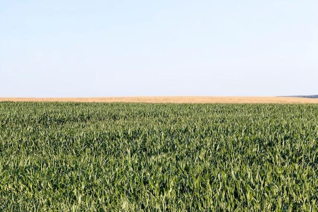 Zbliżenie na zieloną kukurydzę