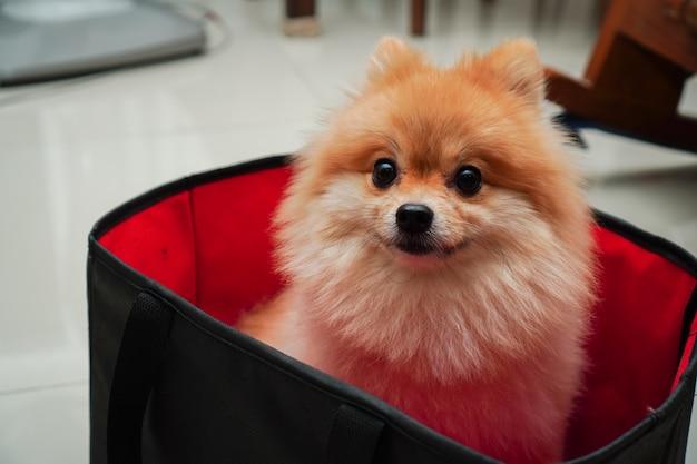 Zbliżenie na zwierzaka domowego, małego psa rasy pomorskiej lub pomorskiego, siedzi w składanym koszyku z szmatką, który umieszcza w domu