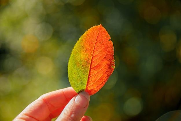 Zbliżenie naturalne jesień widok kobieta ręce trzymając czerwony pomarańczowy liść na tle ciemnego parku. inspirująca natura tapeta z października lub września. zmiana koncepcji pór roku.