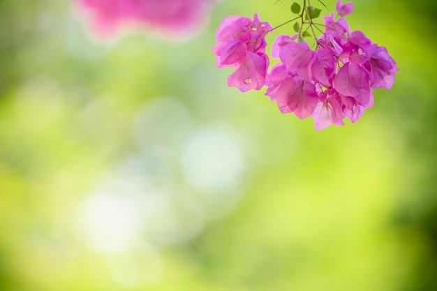 Zbliżenie natury widok różowy bougainvillea na niewyraźne tło zieleni pod światło słoneczne z bokeh i kopiować miejsca za pomocą jako tło krajobraz roślin naturalnych