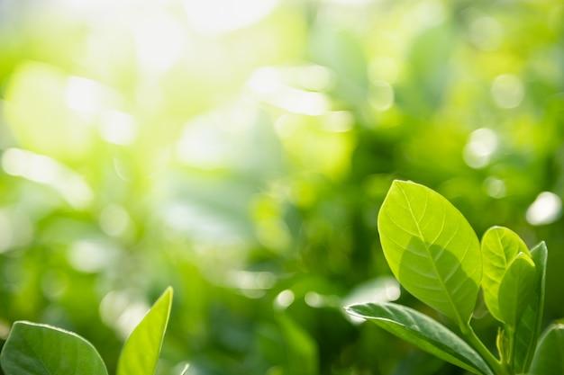 Zbliżenie natury widok zielony liść na tle rozmazanej zieleni w słońcu z bokeh i kopia tło naturalne rośliny krajobraz,
