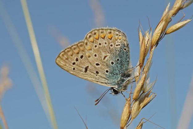 Zbliżenie niebieskiego argusa (polyommates icarus) z zamkniętymi skrzydłami na trawie