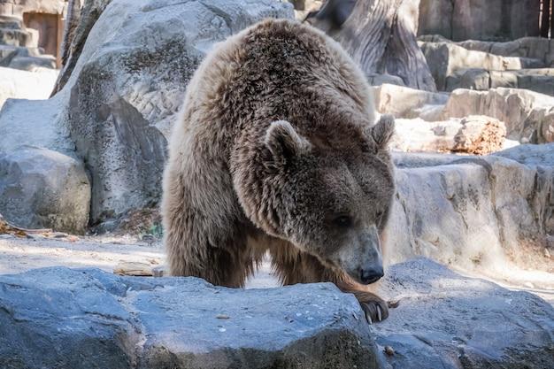 Zbliżenie niedźwiedzia brunatnego