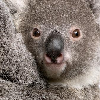 Zbliżenie niedźwiedzia koali, phascolarctos cinereus,