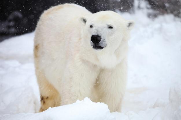 Zbliżenie niedźwiedzia polarnego stojącego na ziemi podczas opadów śniegu na hokkaido w japonii