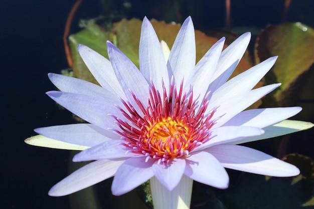 Zbliżenie niesamowita niebieska bogini nymphaea wood's tropikalna lilia wodna