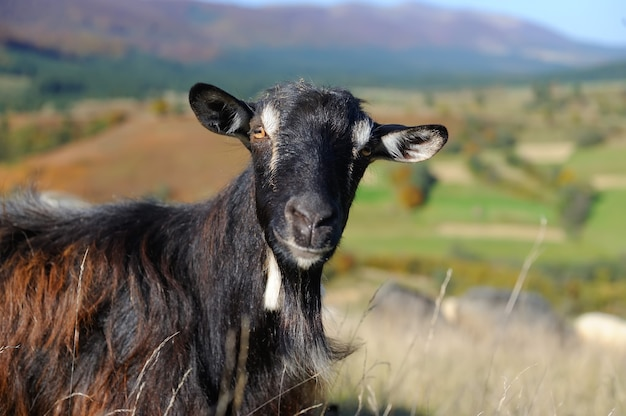 Zbliżenie nikt nie kozy w górach. sezon jesienny