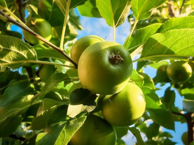 Zbliżenie obraz piękne zielone jabłko rosnące na gałęzi drzewa w archard przeciw błękitne niebo w słoneczny dzień