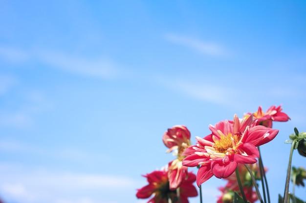 Zbliżenie obrazów czerwonych kwiatów dalii i jasnego, jasnoniebieskiego nieba w północnej części prowincji furano