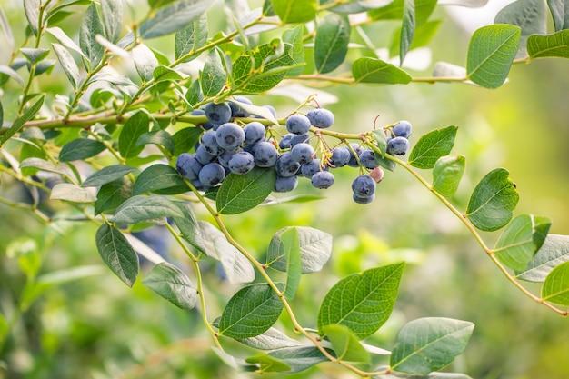 Zbliżenie oddziału pełnego jagód bio i organicznych w gospodarstwie