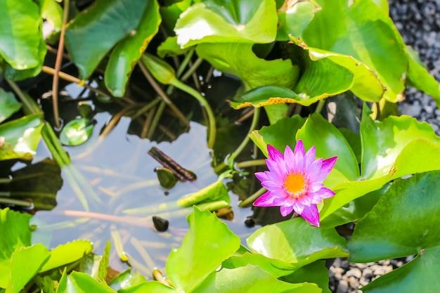Zbliżenie odgórnego widoku pojedynczy prosty kolorowy piękny różowy purpurowy lotos