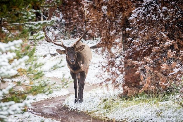 Zbliżenie odpoczywającego łosia, zwierzęcia i zimowej scenerii przyrody