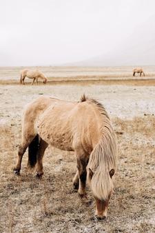 Zbliżenie opalonego konia z piękną grzywą szczypie zaśnieżoną trawę islandzki koń jest