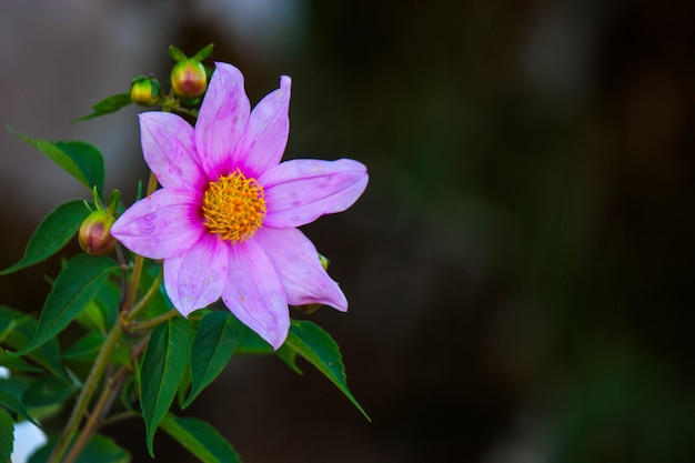 Zbliżenie ostrości strzał pięknego kwiatu kosmosu