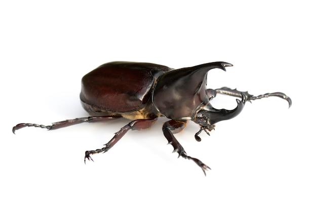 Zbliżenie owadów dynastinae na białym tle