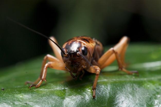Zbliżenie owadów krykieta na liściu