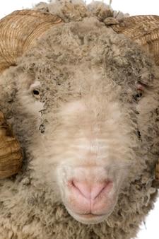 Zbliżenie owiec arles merino, barana,