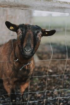 Zbliżenie owiec wystaje głowę z ogrodzenia