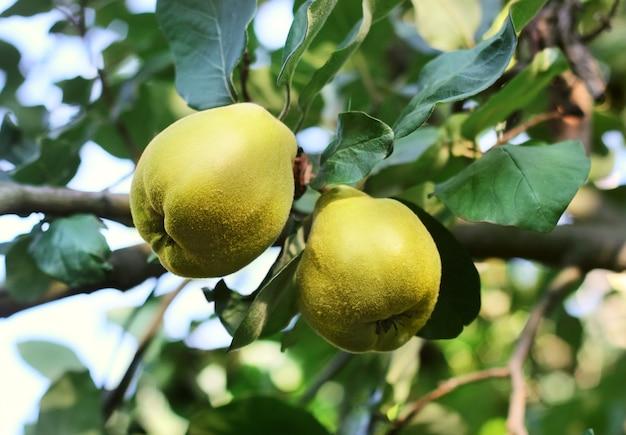 Zbliżenie owoców pigwy jabłoni wśród zielonych liści na gałęziach drzew. świeże pigwy na drzewie. koncepcja zbiorów jesienią.