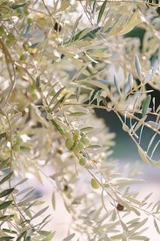 Zbliżenie owoców zielonej oliwki na gałęziach drzewa wśród liści