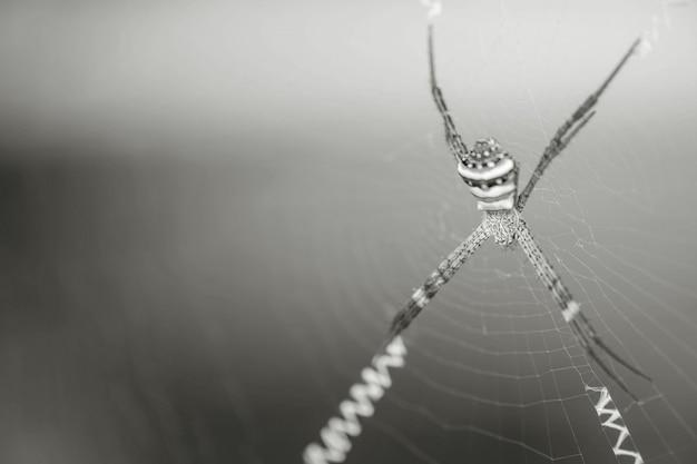 Zbliżenie pająk na pajęczynie w czarny i biały brzmieniu z kopii przestrzenią