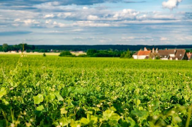 Zbliżenie panoramiczny strzał wiosłuje lato winnicy scenicznego krajobraz, plantację, piękne wino winogrono gałąź, słońce, wapień ziemia. zbiór winogron jesienią, rolnictwo natura