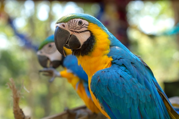Zbliżenie papuga ptak, błękitna i złocista ara ,.