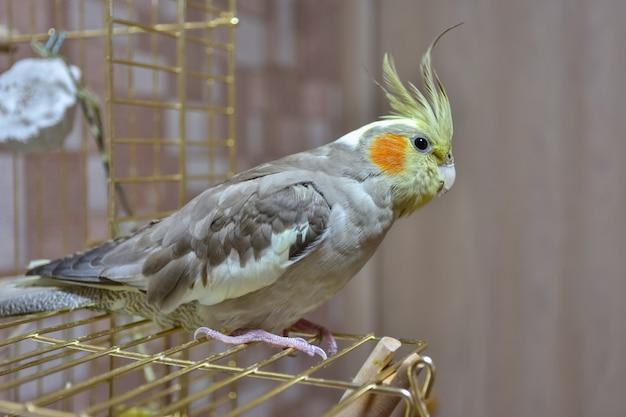 Zbliżenie papugi nimfy siedzącej na klatce