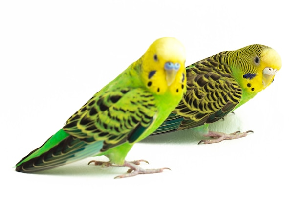Zbliżenie papużek falistych