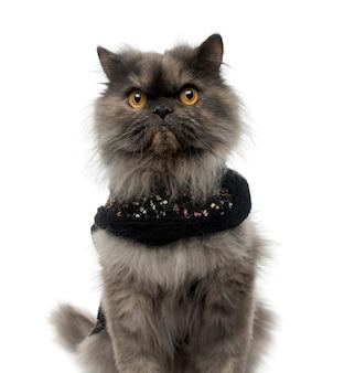 Zbliżenie: perski kot ubrany w błyszczącą uprząż na białym tle