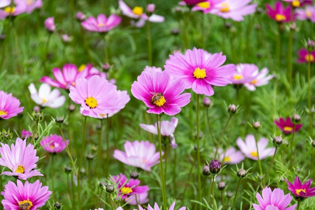 Zbliżenie perskich chryzantem w różnych kolorach kwitnących na trawie