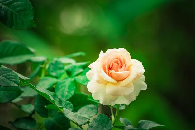 Zbliżenie piękna menchii róża kwitnie kwitnienie w ogródzie. naturalny widok kwiat z naturalnym.