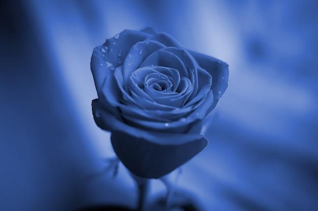 Zbliżenie piękna róża z podeszczowymi kroplami. pozdrowienie koncepcja na urodziny, międzynarodowy dzień kobiet, walentynki. klasyczny niebieski kolor pantone roku 2020