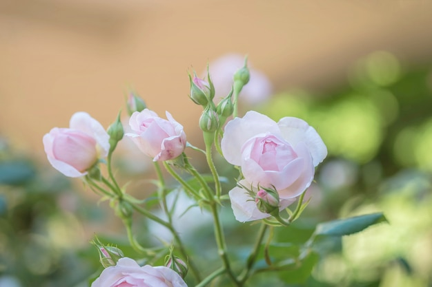 Zbliżenie piękna różowa róża na zamazanym ogrodowym widoku tle