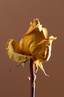 Zbliżenie: piękna żółta róża