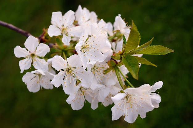 Zbliżenie piękne białe kwiaty