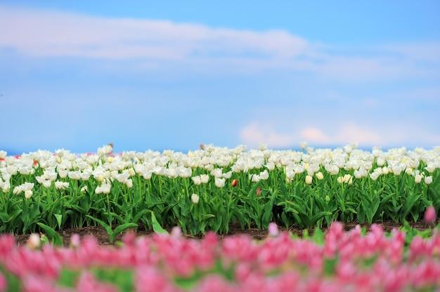 Zbliżenie piękne białe tulipany w wiosennym polu