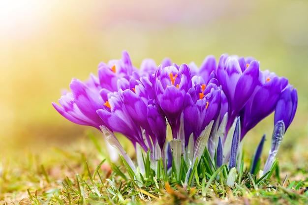Zbliżenie: piękne pierwsze wiosenne kwiaty, fioletowe krokusy kwitnące w karpatach w jasny wiosenny poranek