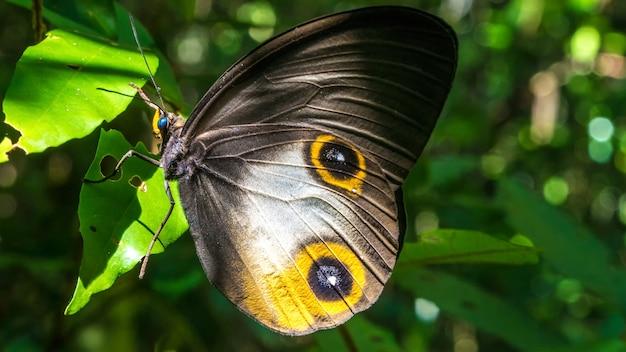 Zbliżenie pięknego motyla, wyspy gam, raja ampat, indonezja, papua zachodnia