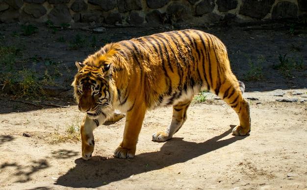 Zbliżenie pięknego tygrysa, na tle zielonych drzew.
