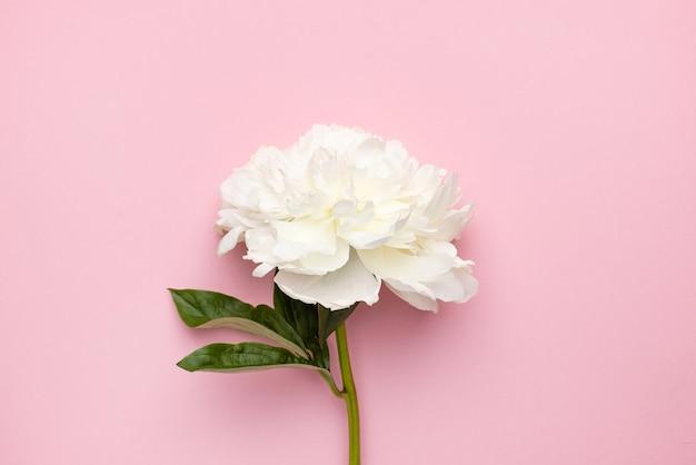 Zbliżenie piękny biały kwiat piwonii w wazonie na różowym tle z kopią miejsca wakacje i narodziny...