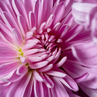 Zbliżenie piękny fioletowy kwiat