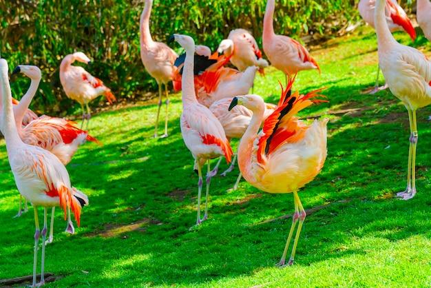 Zbliżenie piękny flaming grupy odprowadzenie na trawie w parku