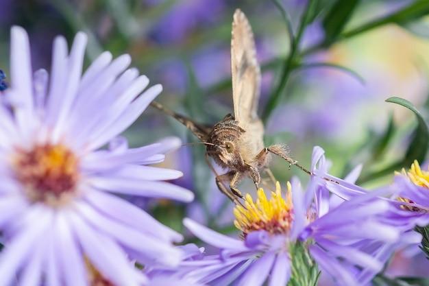 Zbliżenie piękny motyl w letnim ogrodzie. ćma na kwiatku