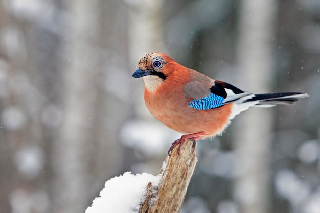Zbliżenie piękny ptak jay z jasnymi kolorowymi piórami siedzi na śniegu w zimowym lesie