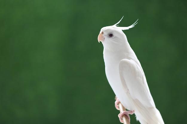 Zbliżenie: piękny ptak nimfy (nymphicus hollandicus) na zielonym tle, cacatuoidea