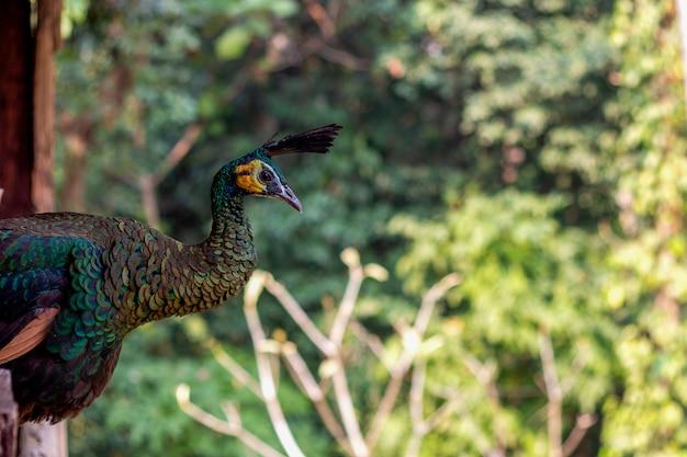Zbliżenie piękny ptasi paw z miękką ostrością