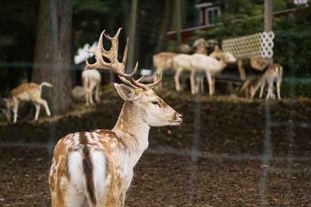 Zbliżenie piękny rogacz w zwierzęcym parku z caklami i innymi zwierzętami