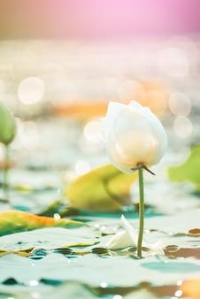 Zbliżenie piękny różowy kwiat lotosu w stawie.